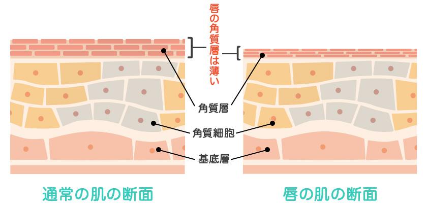 唇の角質層は普通の肌より薄い